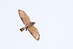 Hawk & Vole - Copyright Helen E. Grose 2