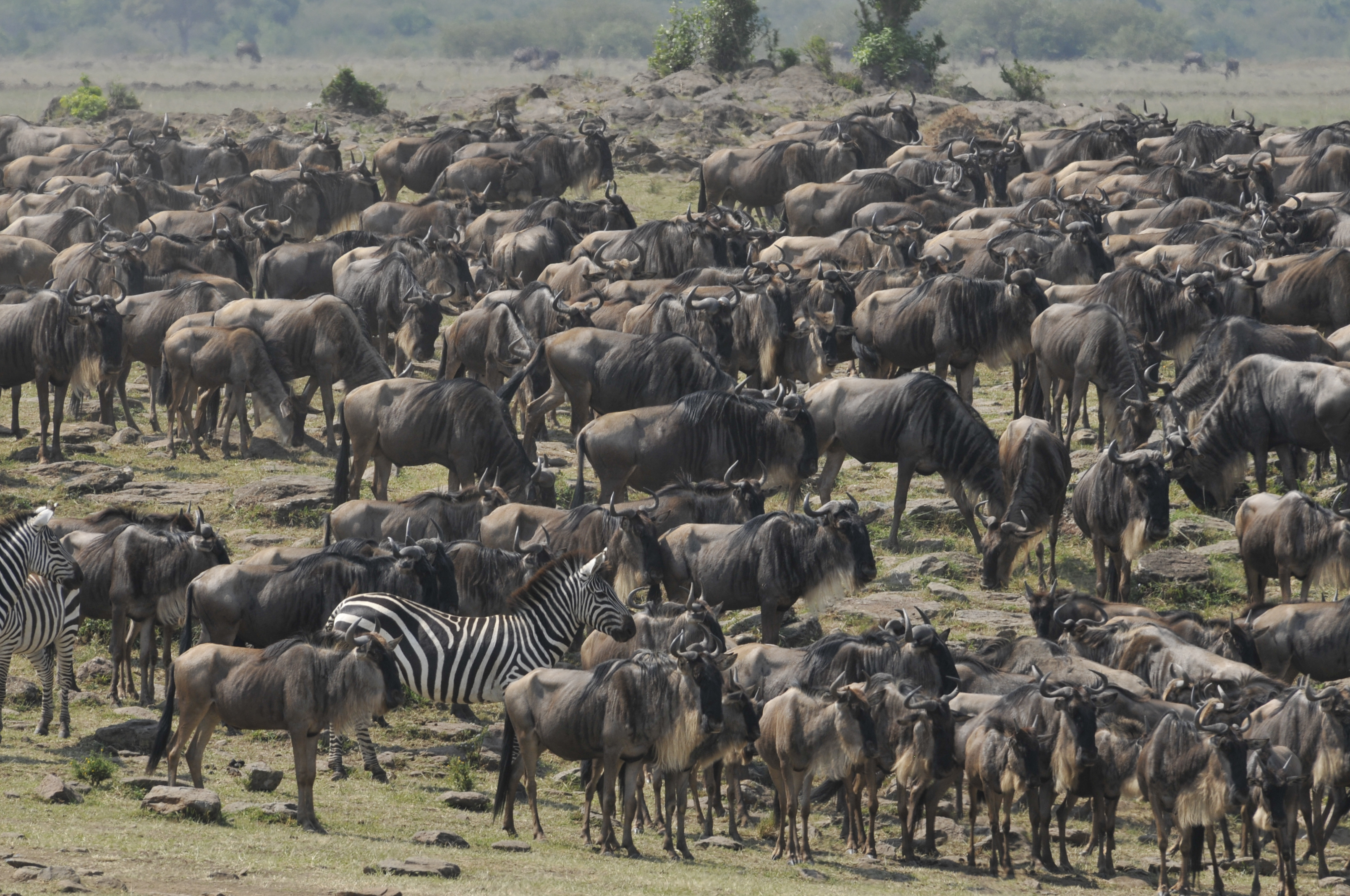 Wildebeest waiting to cross