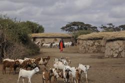 Masai Goats