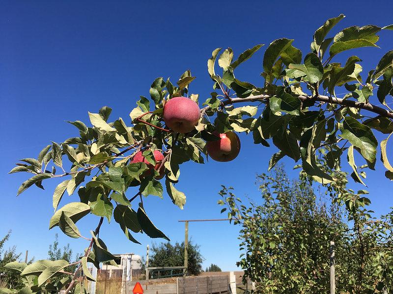 Steury Orchard Sept 2017 (2).JPG
