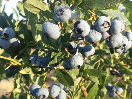 U-pick blueberries!