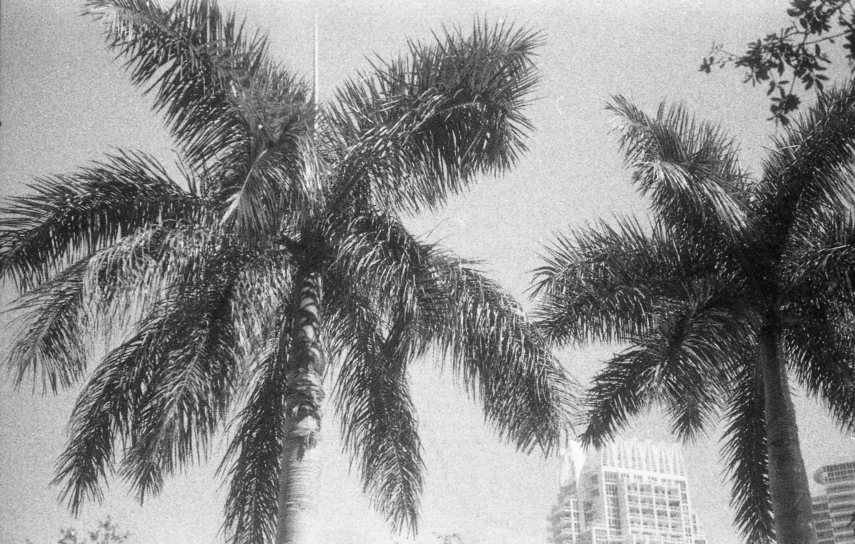 The dance of the palm trees,