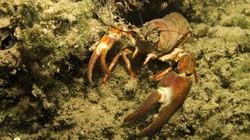 curious crab
