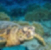 Tauchkurs Schnuppertauchen mit Schildkröte