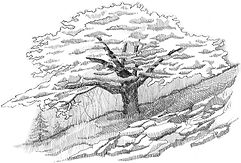 Lebanon Cedar drawing.jpg