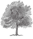 Ash Tree drawing copy.jpg