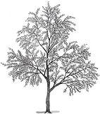 flowering almond.jpg