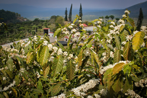 Finca Ayutepeque Blossoming Trees