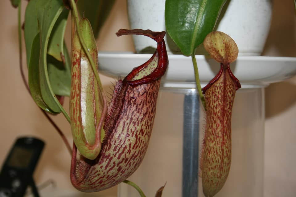 N. Rafflesiana elongata pitchers.jpg