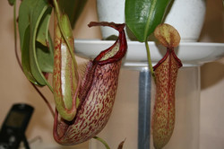 N. Rafflesiana elongata pitchers.jpg