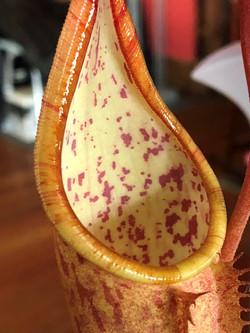 Napenthes Sanguinea Orange 3 .jpg
