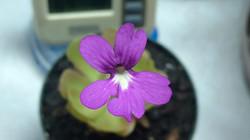 ping flower.jpg