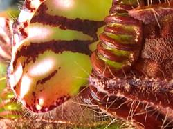 Droseria Regia.jpg