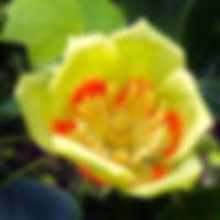 TulipTreeFlower_edited_edited_edited_edi