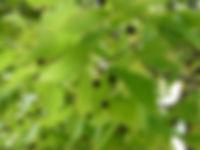 HackberryLeaves&Gruit.jpg