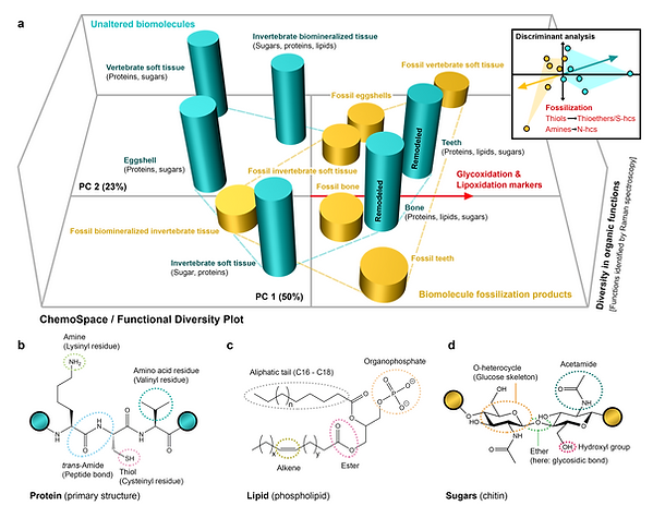 Biomolecule fossilization