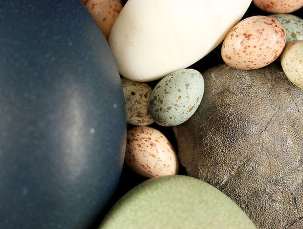 Dinosaur egg with bird eggs.jpg