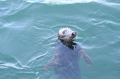 Seal at Skaket Beach.jpg