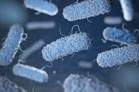 Listeria monocytogenes ve Listeria spp. Aranması