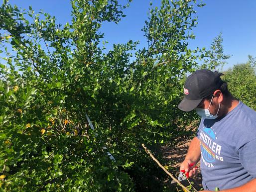 UTalca busca potenciar cultivo del Quillay como recurso sustentable para la industria química