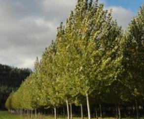 Investigan nuevas variedades de álamos que potencian riberas de ríos para producción de biomasa