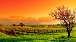 2233098-vineyard-wallpaper