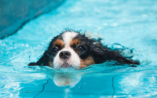 Cavalier King Charles alla piscina per cani Doggy Splash di Torino