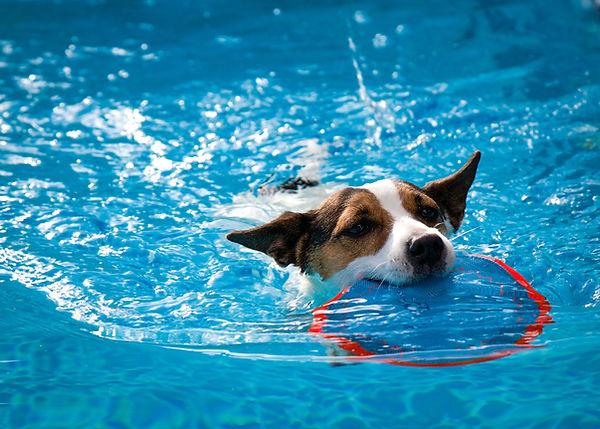 Jack Russel nella piscina per cani Doggy Splash di Torino
