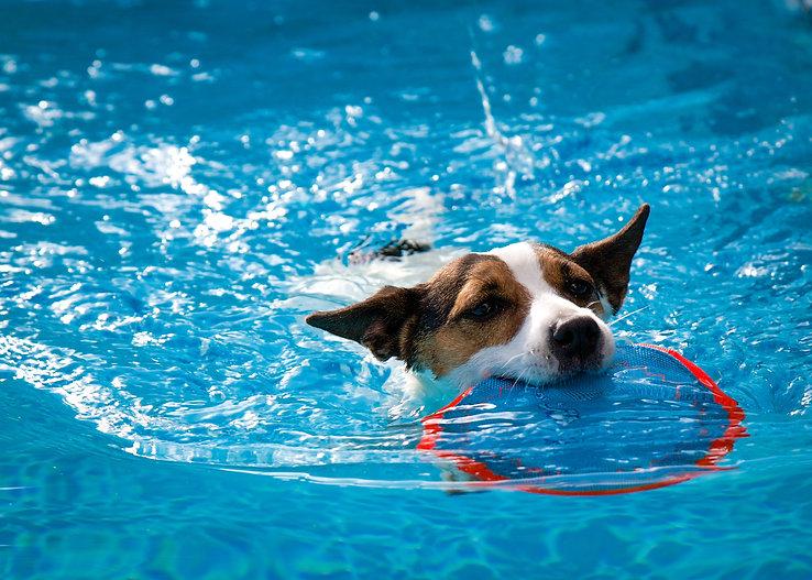 Jack Russel Terrier alla piscina per cani Doggy Splash di Torino
