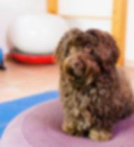 Cani obesi fanno lezione in palestra per cani al Doggy Splash di Torino