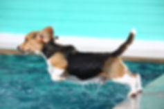 Beagle alla piscina per cani Doggy Splash di Torino