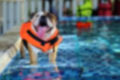 Bulldog alla piscina per cani Doggy Splash di Torino