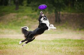 Border Collie pratica Disc Dog a Torino