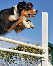 Agility dog competition software