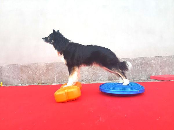 Border Collie nella palestra per cani Doggy Spash di Torino