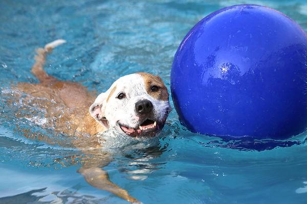Pittbull alla piscina per cani Doggy Splash di Torino
