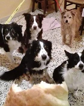 Border Collie in asilo per cani a Torino