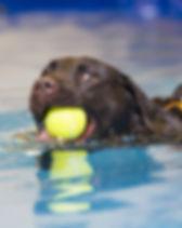 Labrador Retriever si allena in piscina per cani