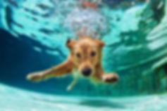 Golden Retriever alla piscina per cani Doggy Splash di Torino