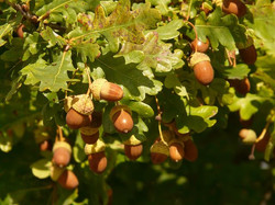 Chêne pédoncule
