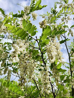 Robinier faux acacia