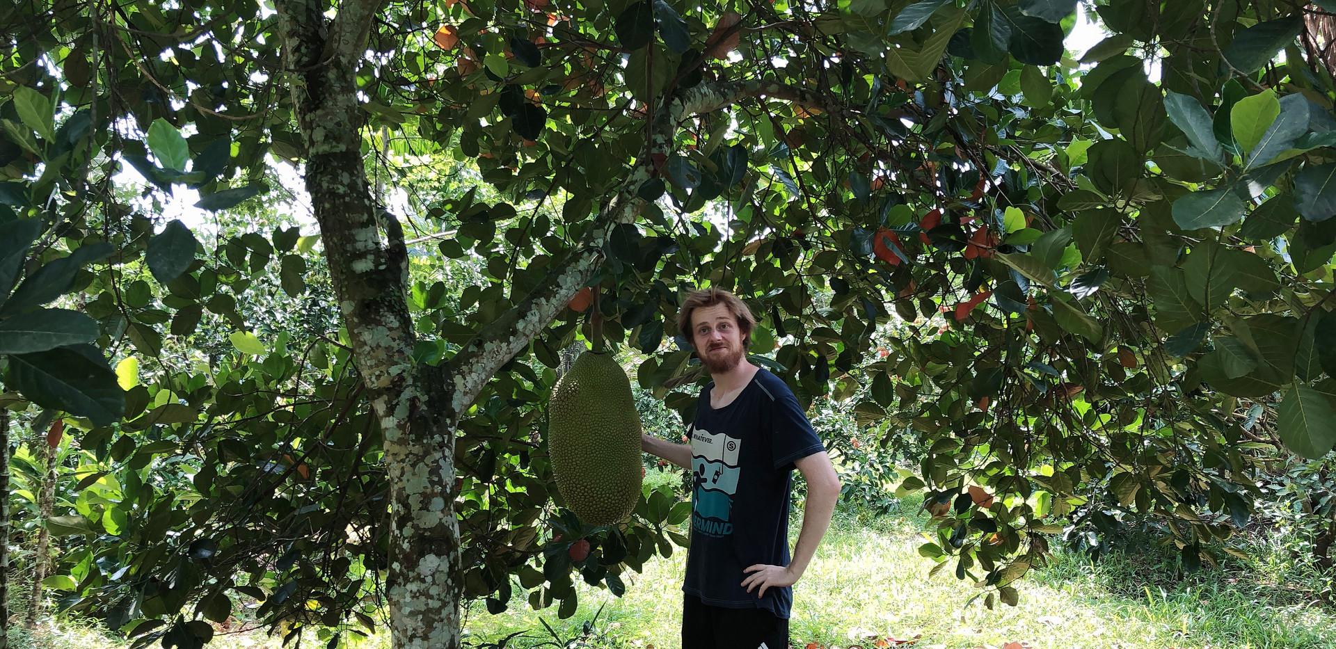 Jackfruit on a tree.jpg