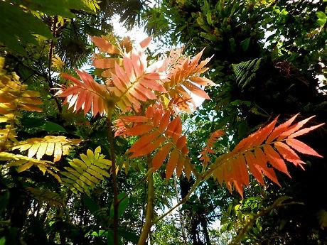 Alfaroa costaricesins- Panama.jpg