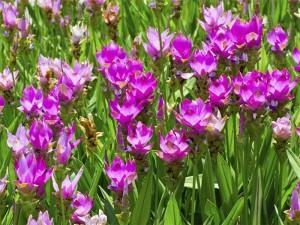 Natura plantes : CURCUMA
