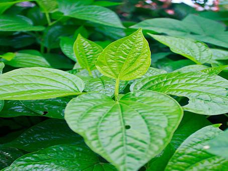 Natura Plantes®: Plu Kow