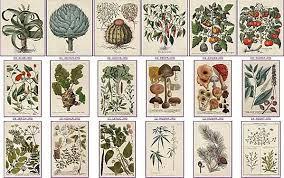 HISTOIRE DES PLANTES MÉDICINALES  : HIPPOCRATE, DIOSCORIDE, GALIEN