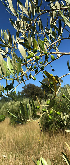Huangarua Olives Martinborough