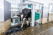 cow-in-monobox.jpg