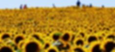 Families%2520frolicking%2520in%2520a%2520Sea%2520of%2520Sunflowers_edited_edited.jpg