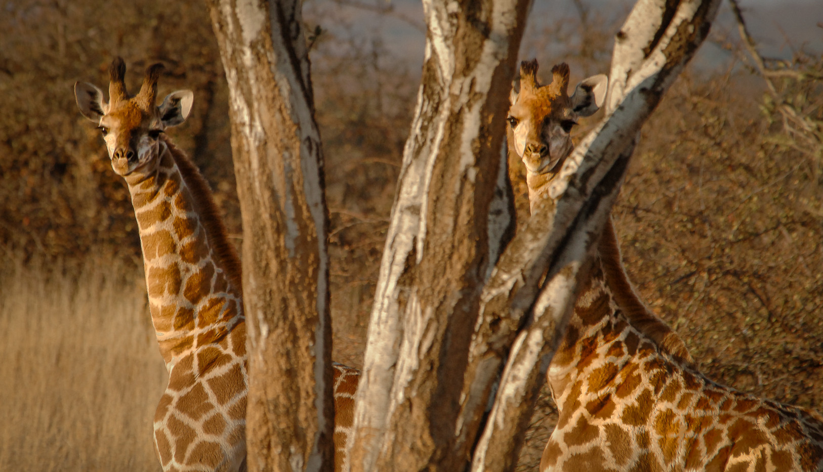 Peeping giraffe